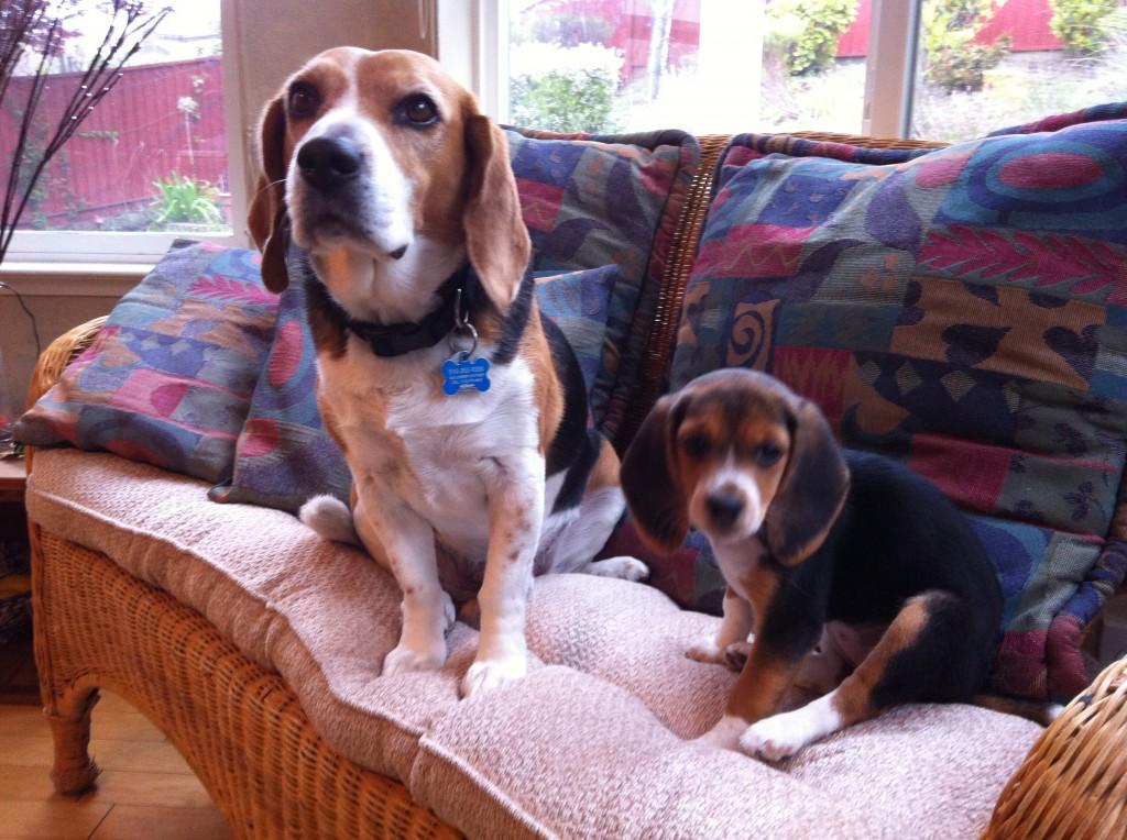 vi-presento-mia-nuova-cucciola-beagle-puppy