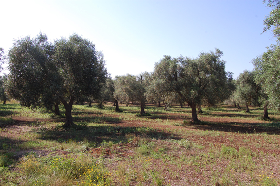 learn-italian-language-italy-puglia-lecce-salento-under-olive-tree