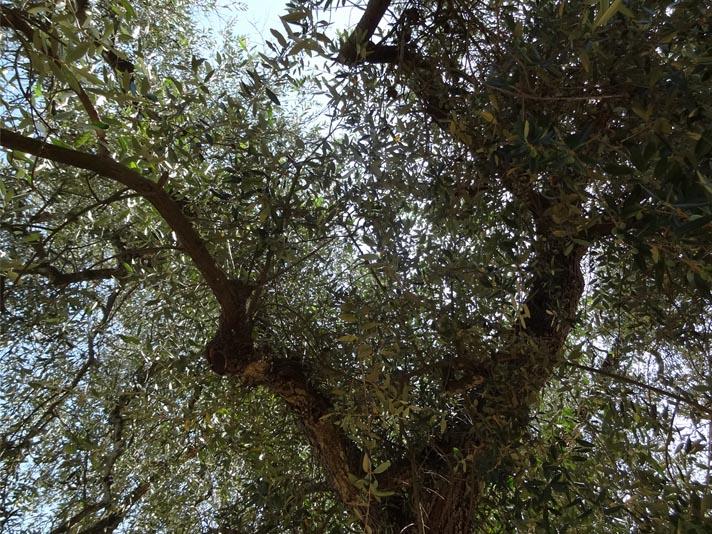 facciamo-una-degustazione-olio-oliva-learn-proper-way-taste-olive-oil