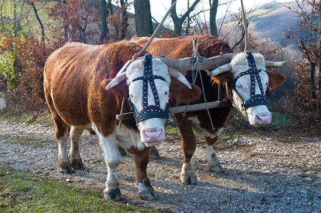 ox-bull-head-toro-bue-testa-betrayed-husband-florence-duomo-Brunelleschi